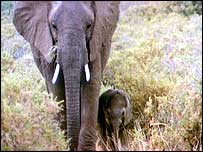 Elephant adult and calf   BBC