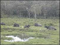 Buffalo graze in the Brazilian Atlantic Forest