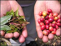 Khat leaves(left) and coffee beans(right)