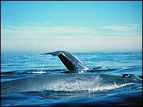 Blue whale, NOAA