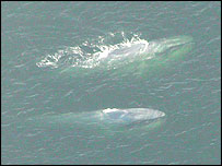 Aerial shot of two blue whales, Layla P Osman