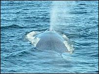 Blue whale, Hucke-Gaete