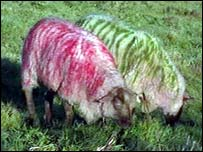 Sheep spray-painted to deter panther