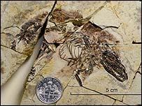 Sinodelphys szalayi, CMNH