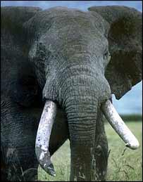 Elephant   BBC