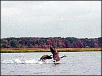 Geese on Main Creek, Fresh Kills