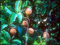Brazil nuts on tree