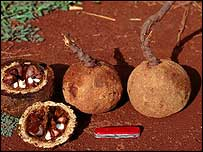 Brazil nuts on ground