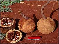 Brazil nuts on ground