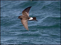 New Zealand storm petrel   Bryan Thomas