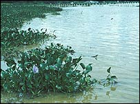 Water hyacinth, Sazima