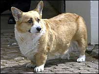 One of the Queen's corgis