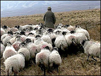 Farmer with sheep