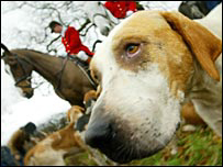 A hound from the Cheshire Forest Hunt near Northwich