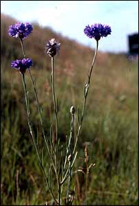 Cornflower, Jane Smart/Plantlife