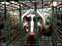 Civet in  a cage