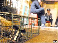 Civet in cage