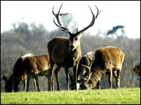 Cervatillos en Richmond Park.