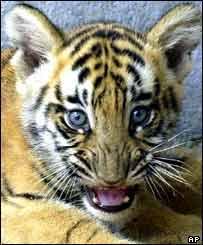 Tiger cub   AP