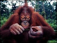 Adult orang   WWF