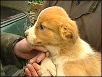 Welsh sheepdog puppy