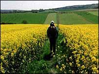 Rambler in rape field   BBC
