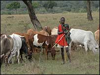 Maasai herder with cows
