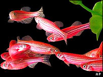 The genetically modified fish, sold under the trademark name of GloFish