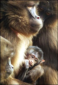 Sereba the baboon holds her new born baby, one of two born at Colchester Zoo