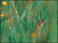 Corncrake in meadow   Chris Gomersall