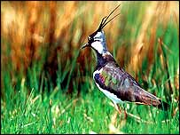 Lapwing in pasture   Andy Hay