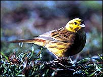 Yellowhammer   Andy Hay