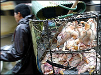 Man in Vietnam rides bike with basket of slaughtered chickens on back in Vietnam
