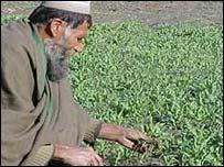 Cultivo de amapola en Afganistán