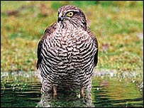 A sparrow hawk