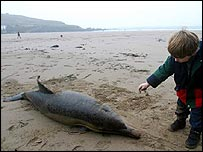 Dead dolphin on beach   Greenpeace