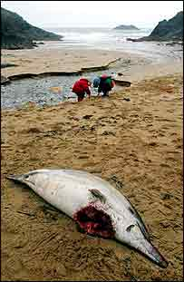 Dead dolphin with injury   Greenpeace