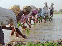 Sowing paddy
