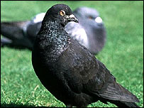 Pigeons are known for their sense of direction