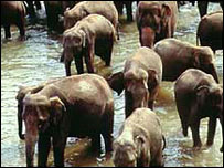 Herd of Indian elephants