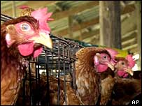 Chickens in Thailand wait to be culled by workers