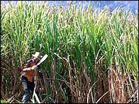Sugar cane