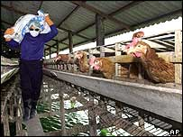 Workers put chickens into a plastic before burying them in central Thailand