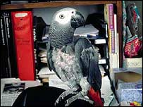 N'kisi African Gray Parrot