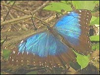 Butterfly, BBC