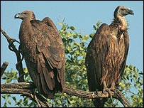 Oriental white-backed vulture, rspb-images.com