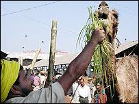 Camel-trader Abdul Zabar with his animal