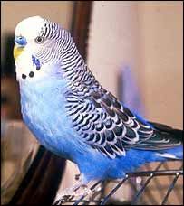 Blue budgerigar   BBC