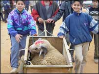 Boys transporting sheep in Rabat