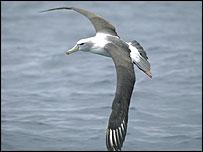 Tasmanian shy albatross